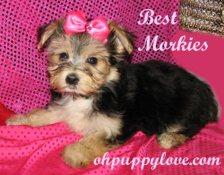 Small Breed Dogs For Sale Rochester Ny