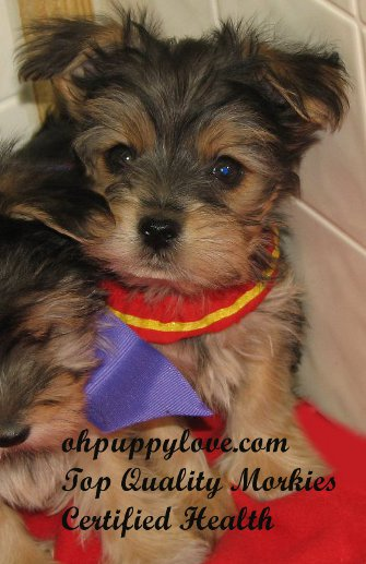 Www Ohpuppylove Com Dog Breeds Morkie Shorkie Maltipoo Poodle Mix Maltipoos For Sale Maltipoo