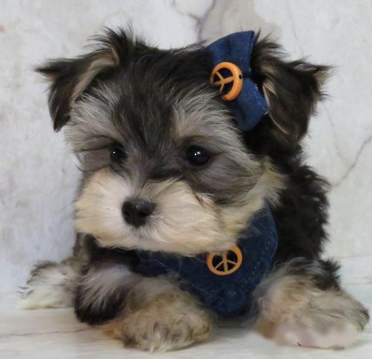 Www Ohpuppylove Com Dog Breeds Morkie Shorkie Maltipoo